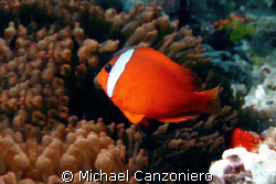 My love is like a red red...tomatoe clownfish? Olympus 30... by Michael Canzoniero 